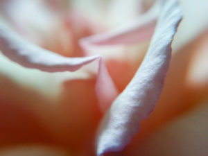 rose, herbal medicine, depression