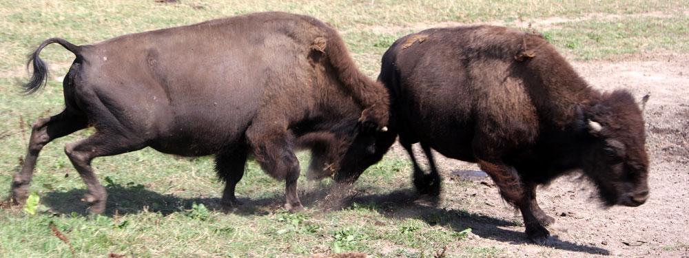 På Ditlevsdal på Fyn kan I opleve amerikanske bision okser på den fynske prærie