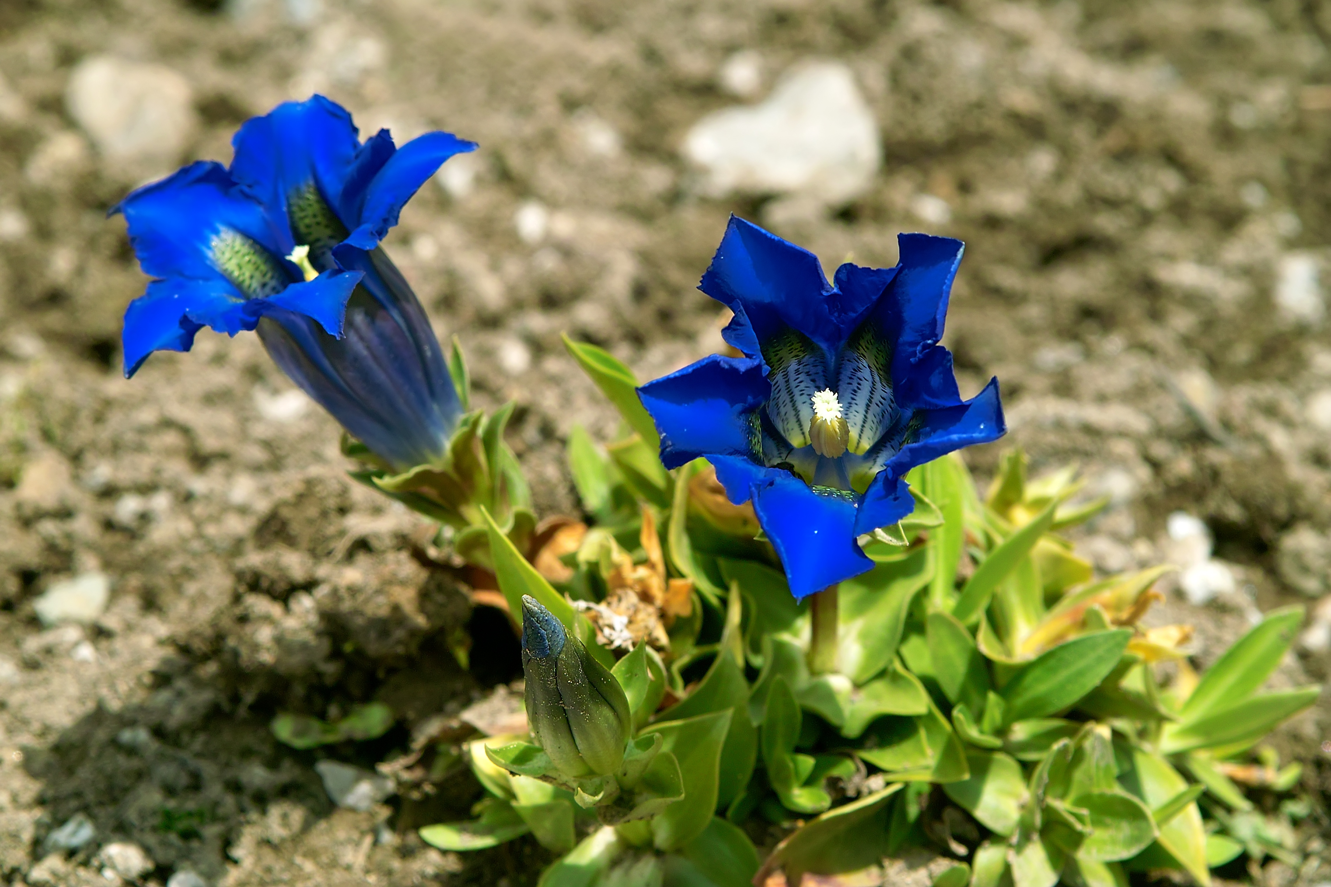 Photo of two Gentian blooms